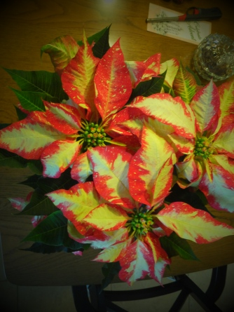 Candy Cane Poinsettia